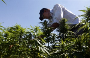 A farmer is seen in a green of cannabis plants in a field overlooking a lake in Yammouneh in West of Baalbek