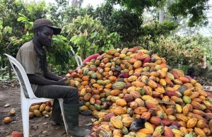 A farmer prepares to open a cocoa pod in Ntui village