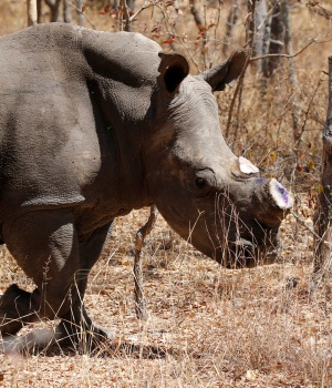 A white female rhino named Carol is seen after she was dehorned by the Animal and Wildlife Area Research and Rehabilitation (AWARE) at Lake Chivero Recreational Park in Norton