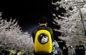 A man carries his pet cat as he walks under the cherry blossoms at Tongji University in Shanghai