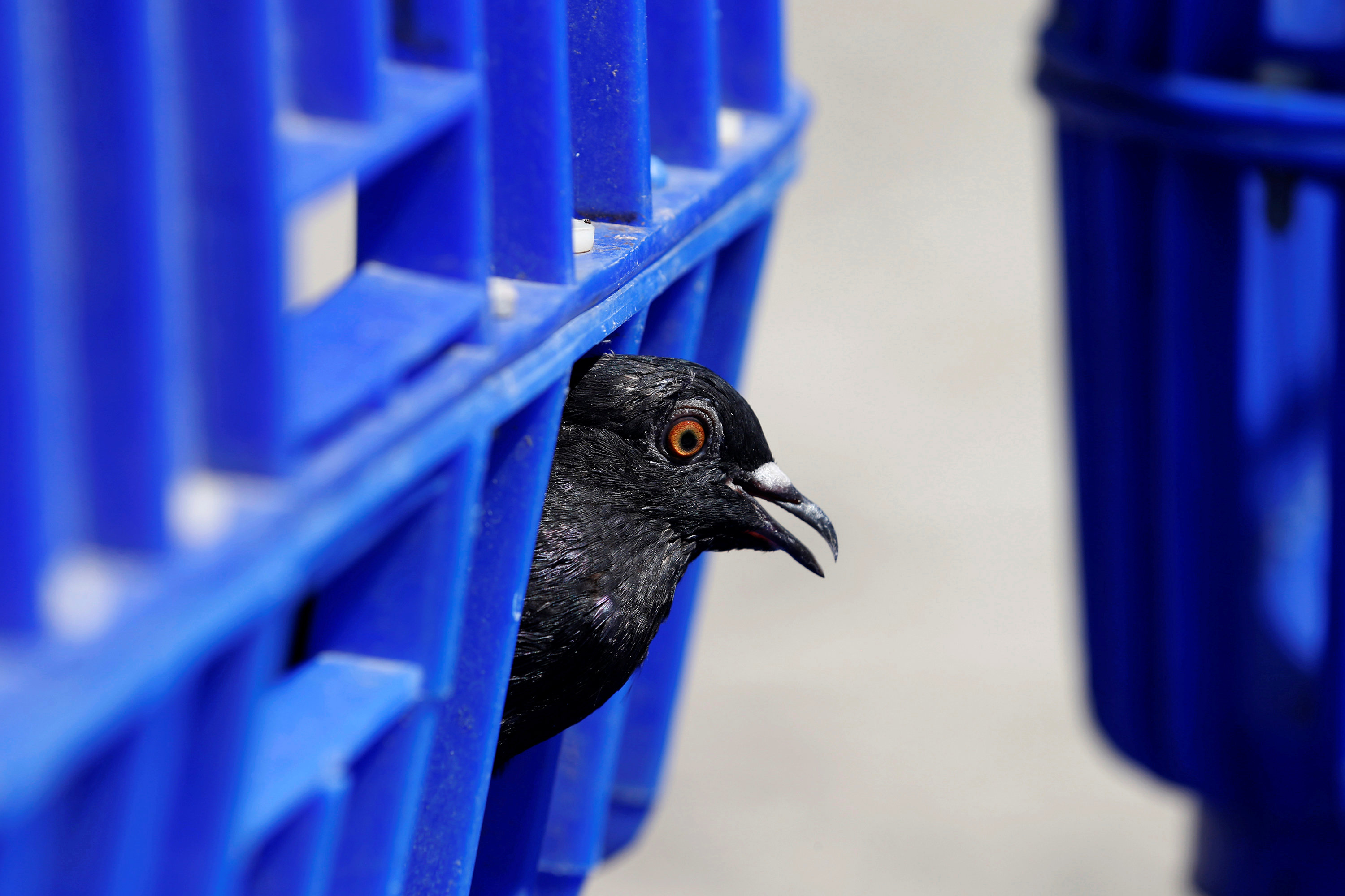 A pigeon is seen in a case after government staff caught it along a street in Bangkok, Thailand