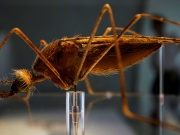 A model of an Anopheles mosquito at the Natural History Museum, in London