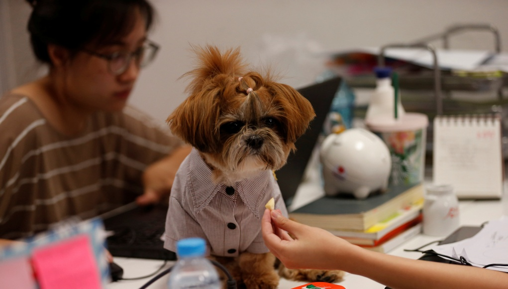 A girl feeds a dog as she works in an office of a digital advertising agency which promotes bring-your-dog-to-work in Bangkok