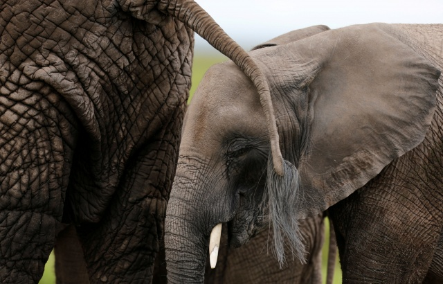 A baby elephant walks behind its mother as they graze in the Amboseli National Park, southeast of Kenya's capital Nairobi