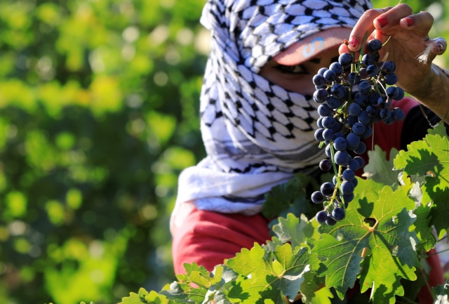 A grape picker harvests grapes in a farm at Taanayel Monastery, in Lebanon's Bekaa Valley