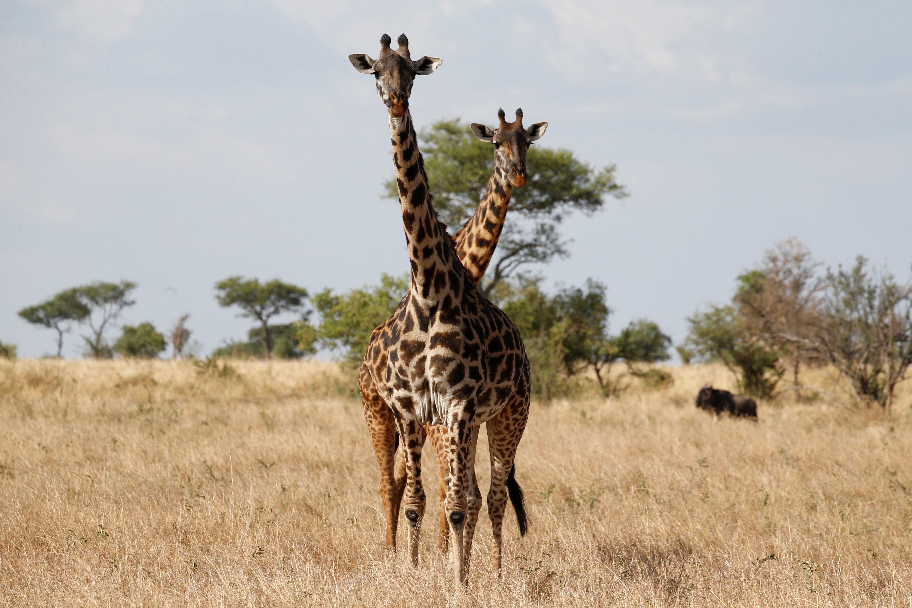 Giraffes are seen at the Singita Grumeti Game Reserve