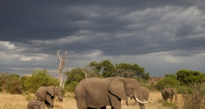A herd of elephants is seen at the Singita Grumeti Game Reserve