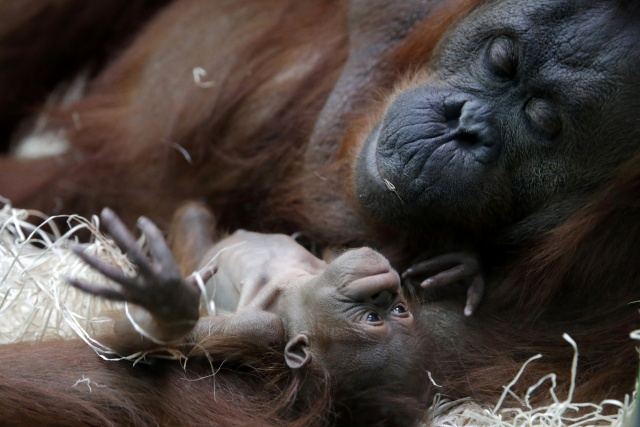 Orangutan Theodora and her newborn daughter Java are seen at the zoo of the Jardin des Plantes in Paris