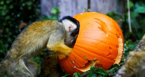 A squirrel monkey interacts with a pumpkin during a photocall at London Zoo in London