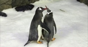 Magic and Sphen, two male penguins who built a nest and fostered an egg together, interact with each other in Sydney's Sea Life Aquarium, Sydney