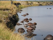 Buffalo carcasses are seen in the Chobe river, Nambia, on the country's border with Botswana