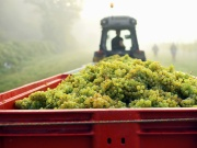 Grapes are packed into a tractor as the mist rises at Chapel Down Winery's Kit's Coty vineyard in Aylesford