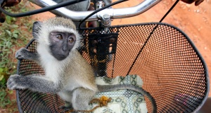 A baby vervet monkey (Cercopithecus aethiops) is seen in a bicycle basket in Zanzibar