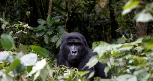 Male mountain gorilla from the Mukiza group is seen at Bwindi National Park near the town of Kisoro