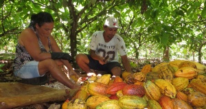Rural workers break cocoa fruit at a farm in Medicilandia